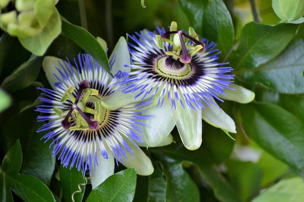 passiflora-foto-video-opisanie-vidy-uhod-v-domashnih-usloviyah-1