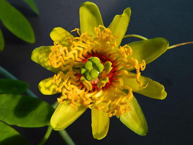 passiflora-foto-video-opisanie-vidy-uhod-v-domashnih-usloviyah-13