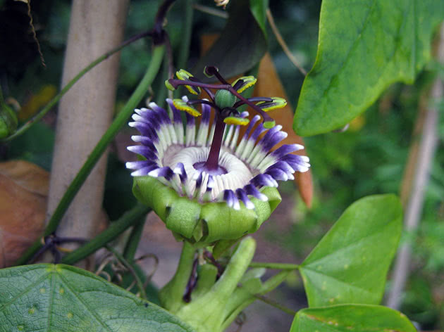passiflora-foto-video-opisanie-vidy-uhod-v-domashnih-usloviyah-5