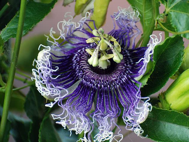 passiflora-foto-video-opisanie-vidy-uhod-v-domashnih-usloviyah-6