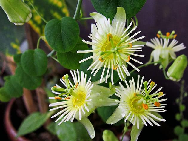 passiflora-foto-video-opisanie-vidy-uhod-v-domashnih-usloviyah-8