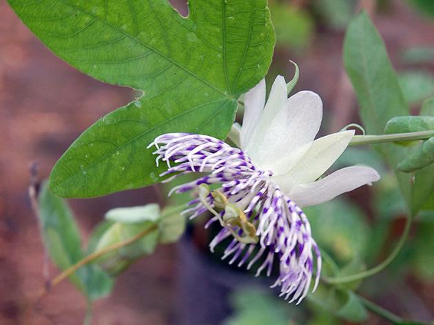 passiflora-foto-video-opisanie-vidy-uhod-v-domashnih-usloviyah-9