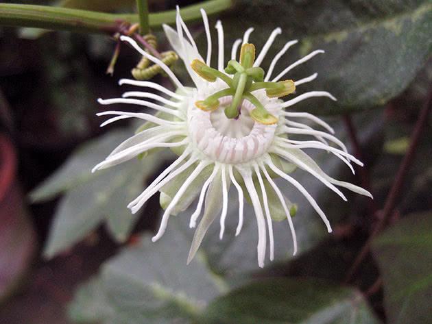 passiflora-foto-video-opisanie-vidy-uhod-v-domashnih-usloviyah-20