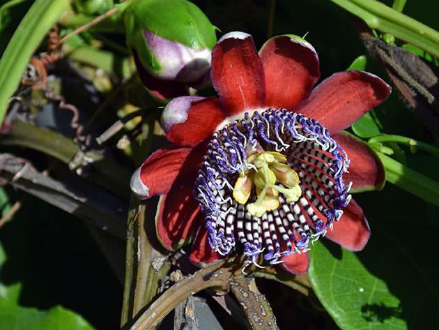 passiflora-foto-video-opisanie-vidy-uhod-v-domashnih-usloviyah-22